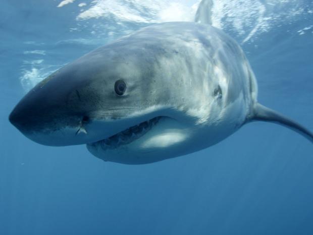 40-shark-ap_1.jpg