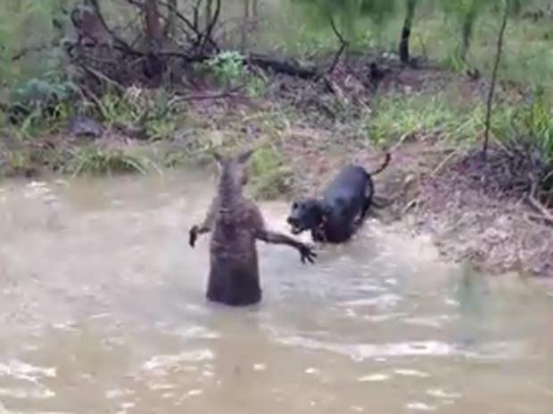 Kangaroo-dog.jpg