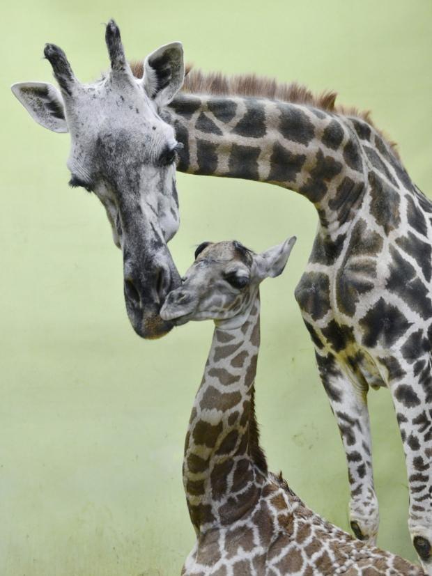 giraffe-ap.jpg