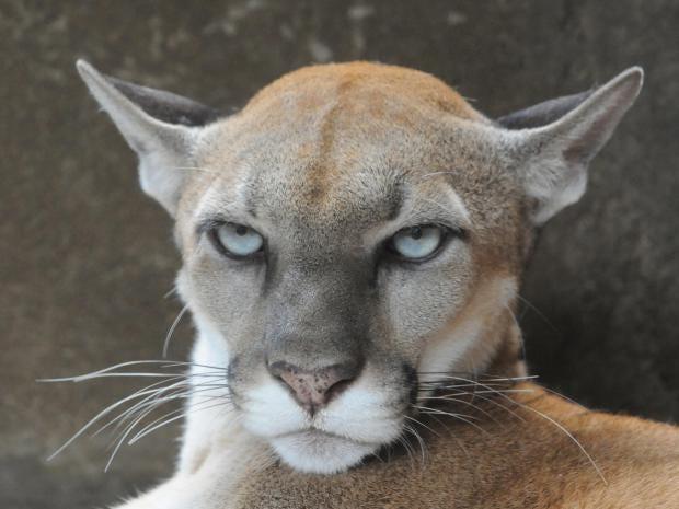 cougar-getty.jpg