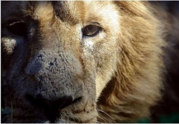 lion-roar.jpg