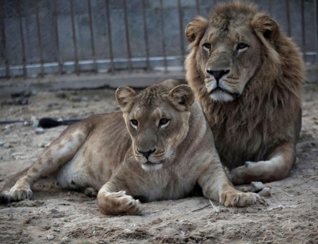 lions-ap.jpg