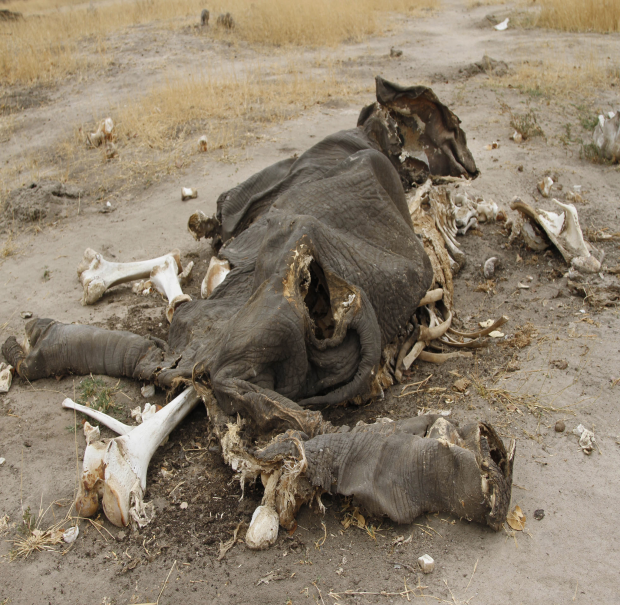 elephant-carcass.png