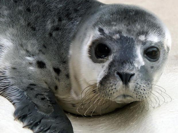 Seal-Pup-Getty.jpg