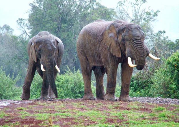elephantsinrain.PNG