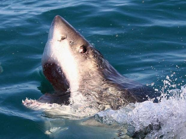 Sharkcull.jpg