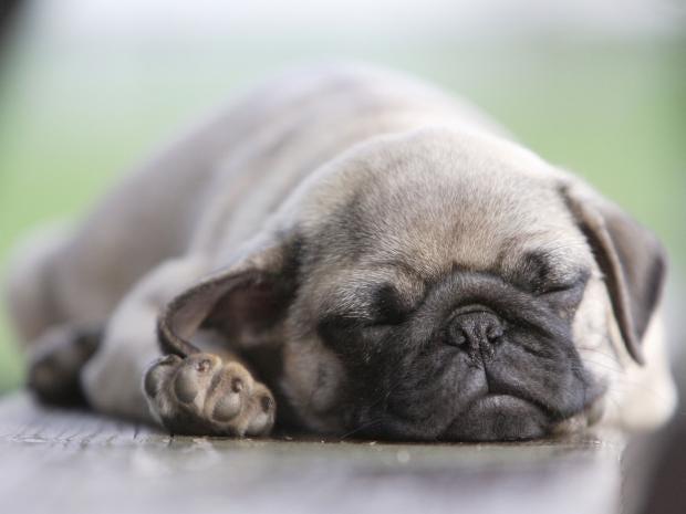 sleeping-pug-rex.jpg