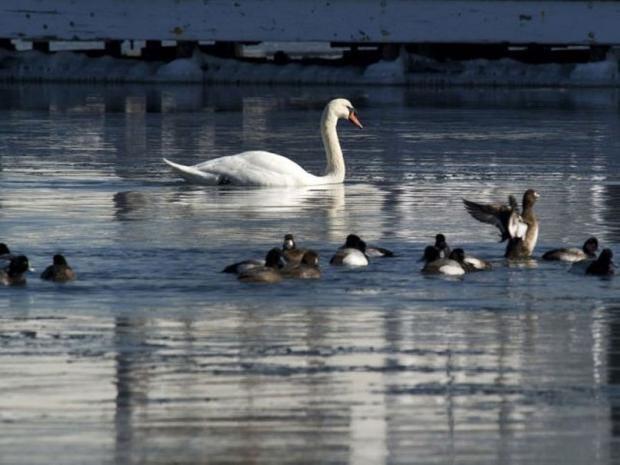 Mute-swans.jpg