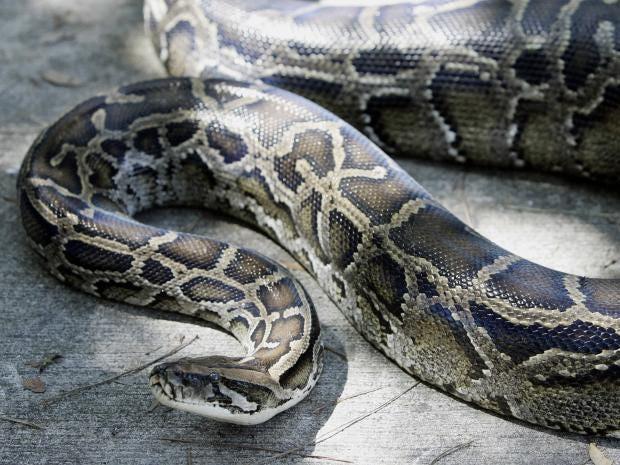 python-GETTY.jpg