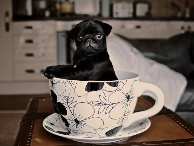 teacup-dog.jpg
