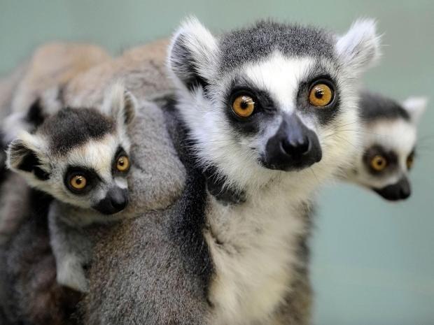 lemurs.jpg