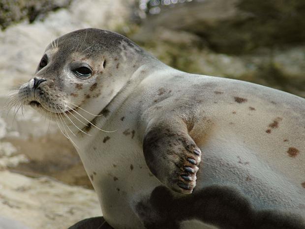 harbour-seal.jpg