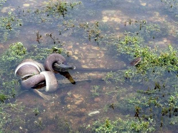 snake-crocodile-aus.jpg
