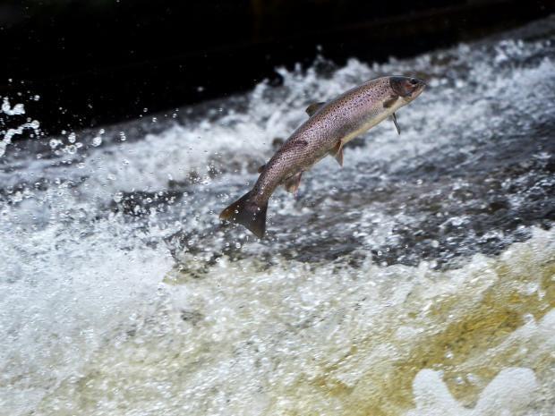 12-Salmon-Getty.jpg