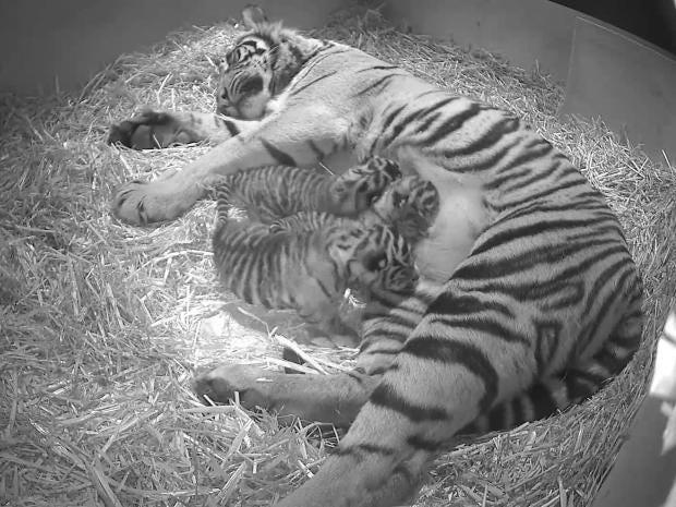 tigers-1.jpg