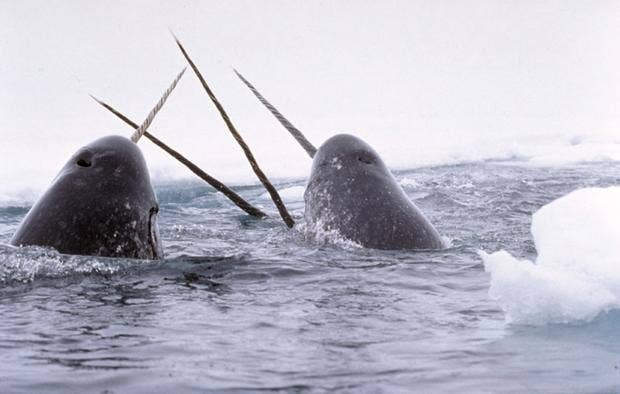 Narwhals_breach.jpg