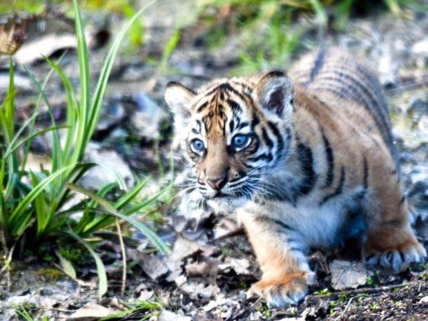 tigers-2.jpg