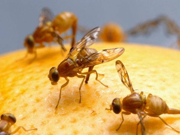 FRUIT-FLY-112.jpg
