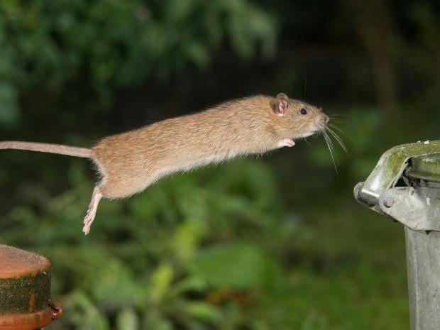 rat-leap-corbis.jpg