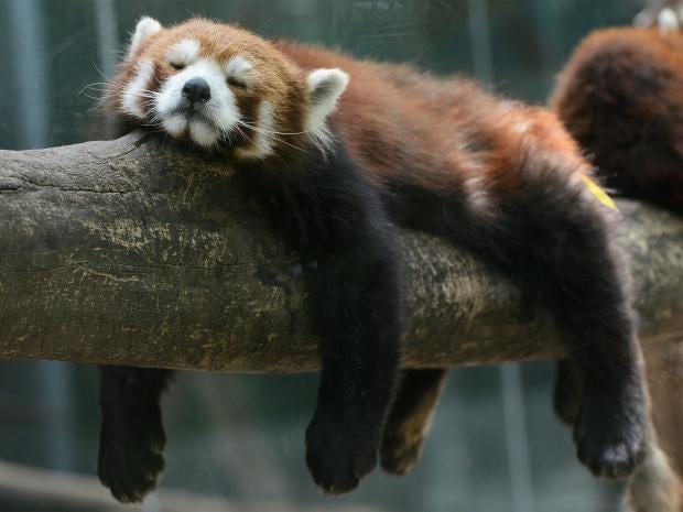 pg-36-red-pandas-getty.jpg