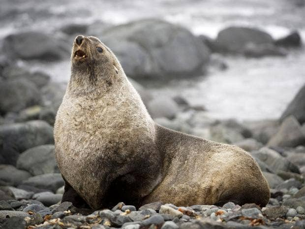 web-fur-seal-getty.jpg