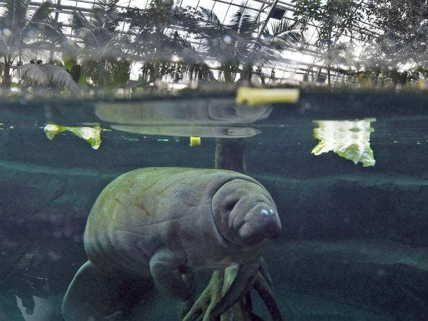 web-barry-manatee-getty.jpg