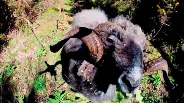 Angry ram takes down a quadcopter drone... and it's owner - YouTube.jpg