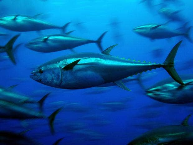 bluefin-tuna.jpg