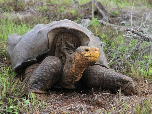 Galapagos-giant-tortoise.jpg