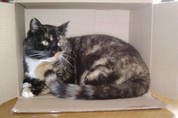 Tortoiseshell_cat_Cindy_in_a_box.png