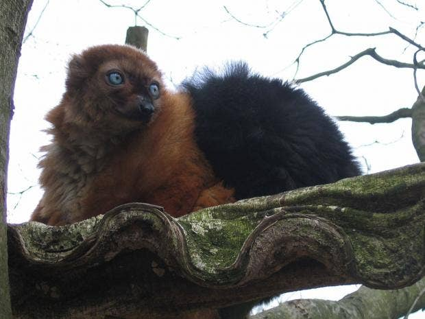 Blue-blac-lemur.jpg