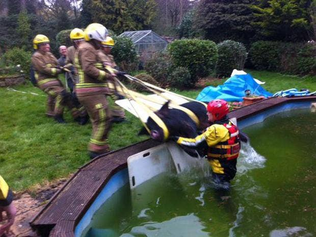 Firefighters Save Pig 39 S Bacon In Specialist Animal Rescue Home News News The Independent