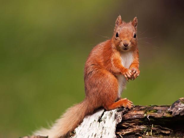 30-Red-Squirrel-Alamy.jpg