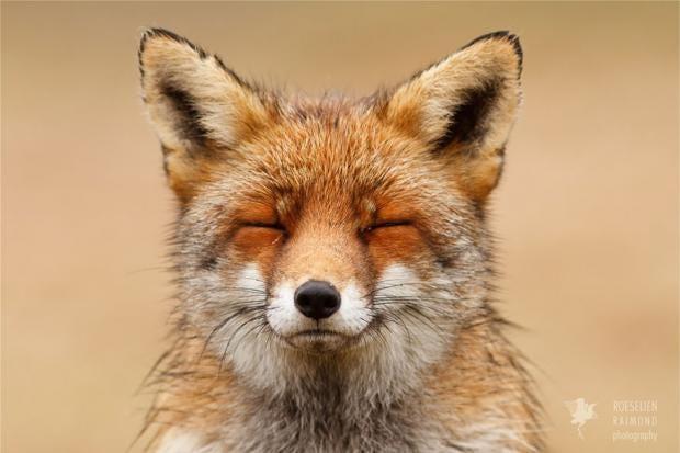 zen-foxes-roeselien-raimond-1__880.jpg