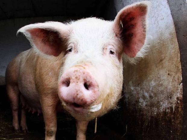 pig-getty.jpg