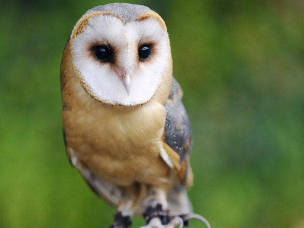pg-8-barn-owl-getty.jpg