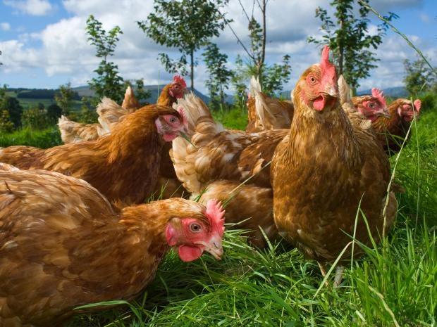 17-chickens-corbis.jpg