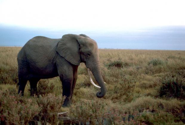 african-elephant-pv.jpg