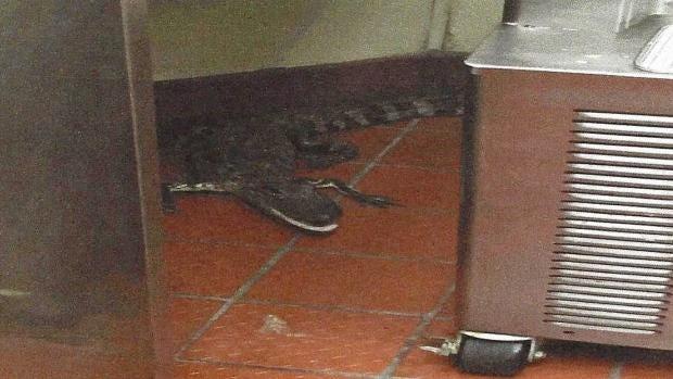 alligator-florida-wendys-jpg.jpg