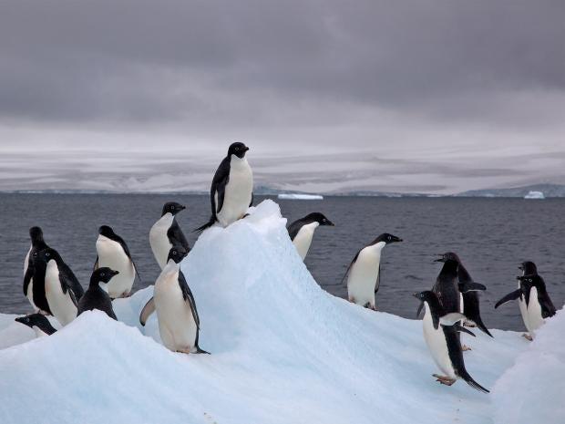 web-adelie-penguins-flickr.jpg