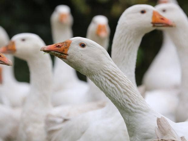 goose-killing.jpg