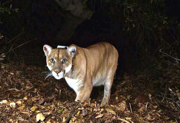 p22-mountain-lion-griffith-park.jpg