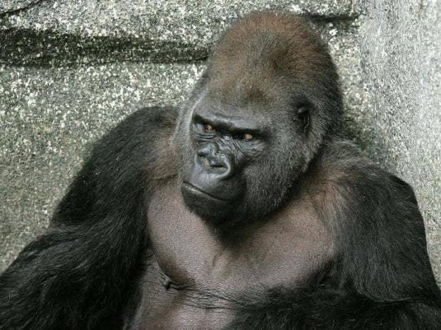 Gorilla-Old.jpg