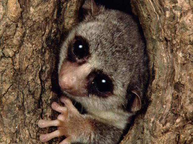 pg5-Lemur.jpg