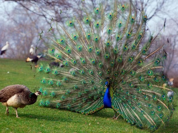 20-Peacock-Alamy.jpg