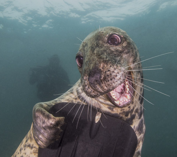 grey-seal-nick-black-underwater-photography-.png