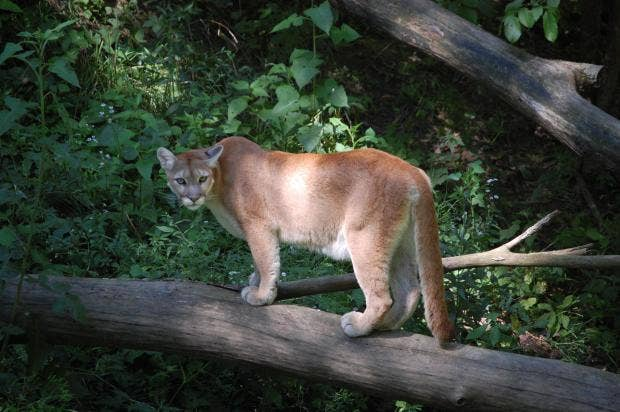 Woman rescues 5-year-old son from mountain lion's jaws