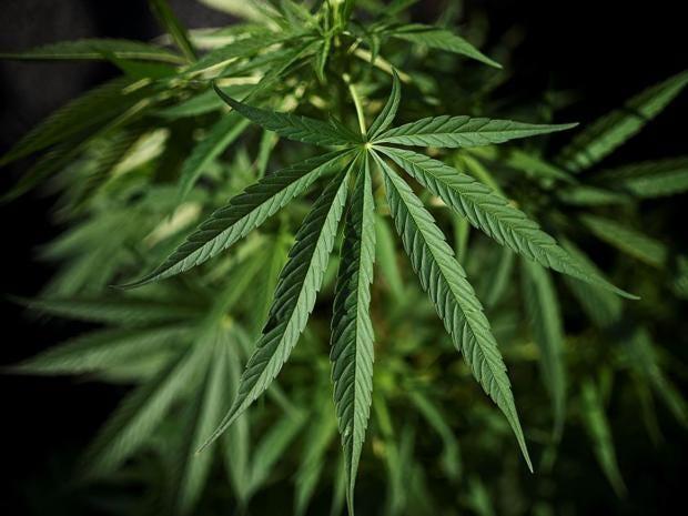 cannabis-3.jpg