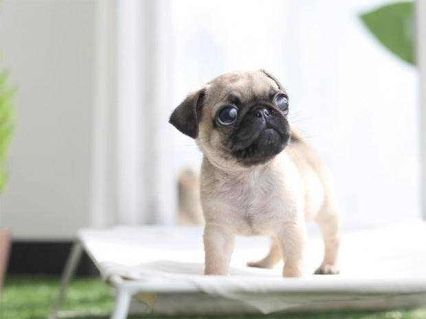 How to Buy a Pug Puppy How to Buy a Pug Puppy new picture