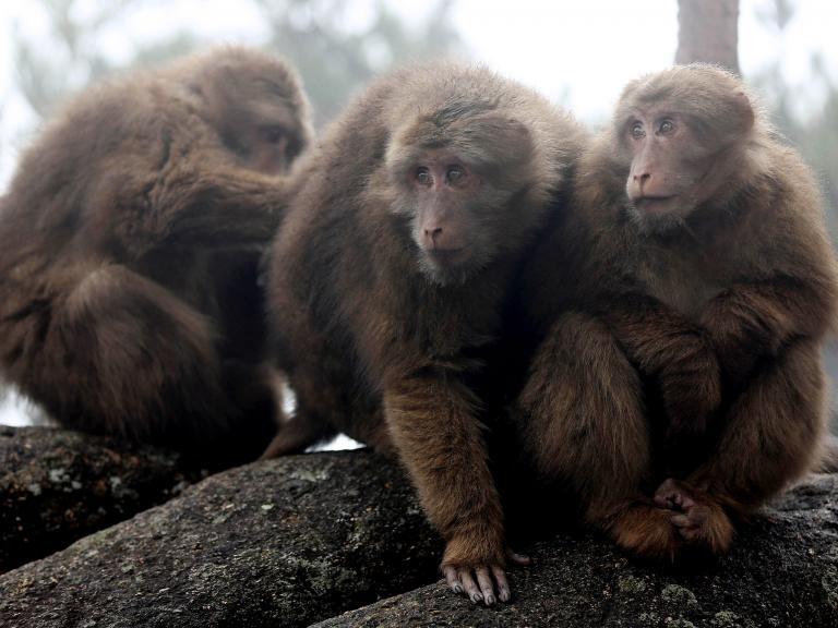 Monkeys grieve for their friends when they die, studies show
